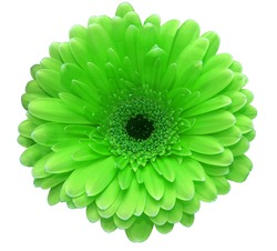 Green gerbera flower isolated on white background