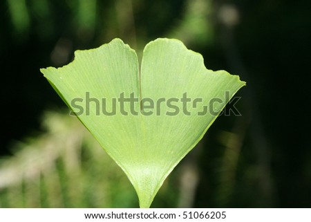 green ginkgo leaf on a tree Ginkgo #51066205