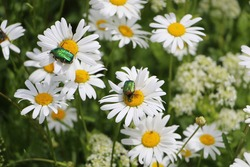 Green golden rose chafer on daisy flower close up. Meadow with daisies and beetles.