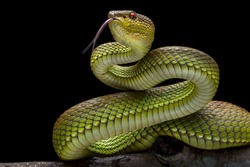 Green Goldy Skin Viper Snake 2001027 - Exotic Reptile Animal Photo Collection
