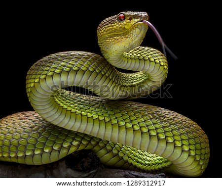 Green Goldy Skin Viper Snake 2001025  - Exotic Reptile Animal Photo Collection