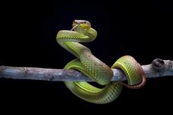 Green Goldy Skin Viper Snake - Reptile Series