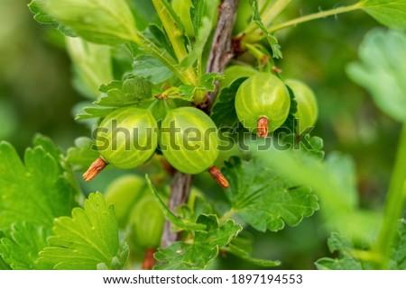 Green gooseberries on a bush in the garden Foto stock ©
