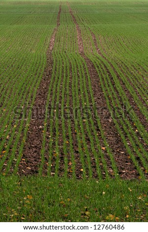 stock photo : Green grain field, early spring