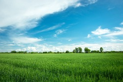 Green grain field, horizon and white clouds on blue sky, spring view