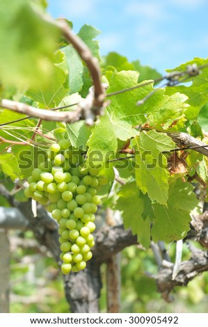 Green grape in the winery