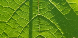 Green grape leaf with mesh veins in sunlig (back side, texture).
