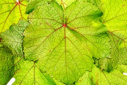 Green grape leaf with red veins, closeup macro texture. Green wine leaf Texture