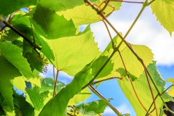 green grape leaves on a background sky