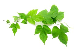green grape leaves on a white background