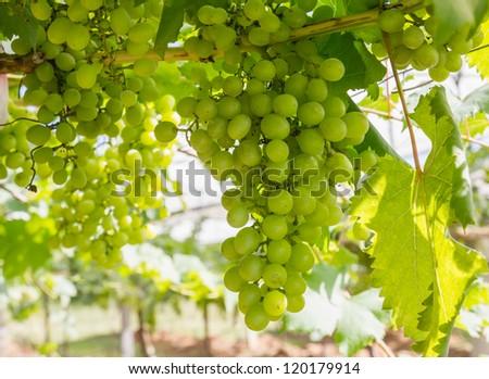 Green Grape on the vine  in vineyard before harvest