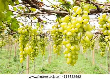 green grape on vine
