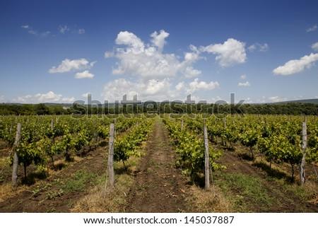 Green grape plantation under blue sky
