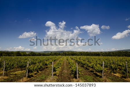 Green grape plantation under blue sky