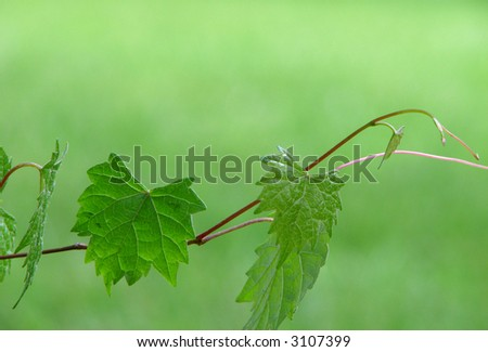Green grape vine with leaves
