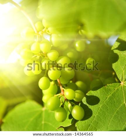 Green grapes close-up shot