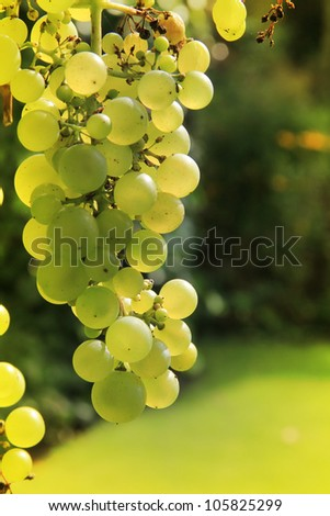 Green grapes hanging from the grapevine.