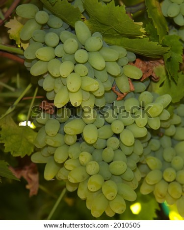 Green Grapes Hanging from the Vine