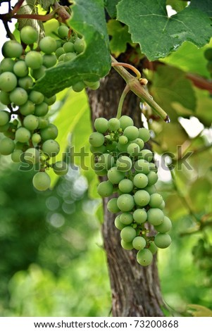 Green grapes hanging on the vine.
