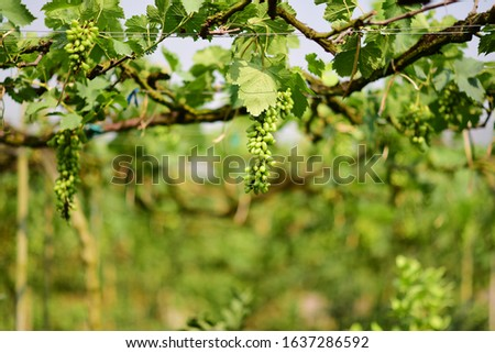 Green grapes in the vineyard are producing products.