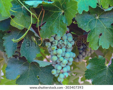 Green grapes in the vineyard. Winery and agriculture concept