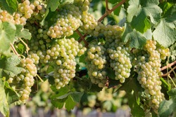 Green grapes on summer vine, multiple bunches