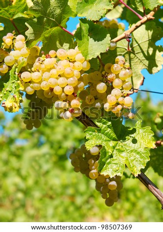 green grapes on the vine over blue sky