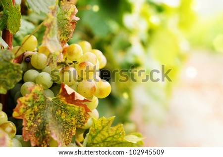 Green grapes on vine ready for crop