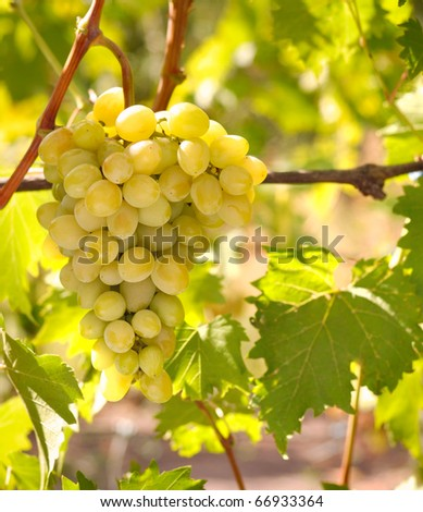 Green grapes on vine, shallow depth of field - stock photo