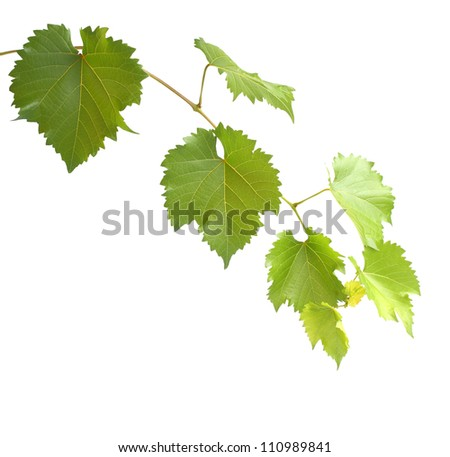 green grapevine twig isolated on white