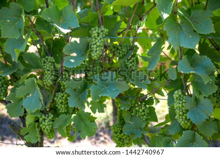 Green grapevines on the bush #1442740967