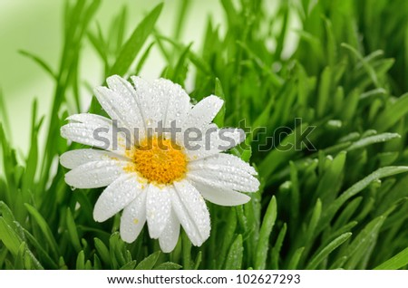 Green grass and chamomiles in the nature