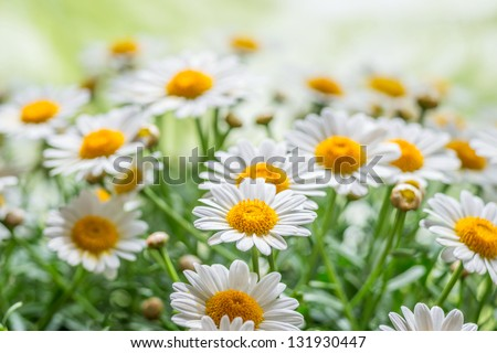 Green grass and chamomiles in the nature #131930447