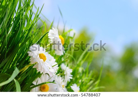 Green grass and chamomiles on the blue background