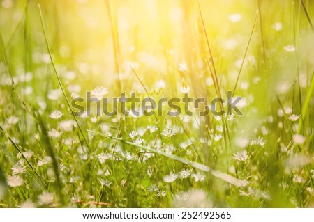 Green grass and little white flowers on the field. Beautiful summer background. Soft focus