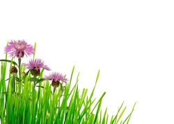 Green grass and thistle flowers corner on white background