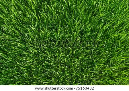 green grass at spring