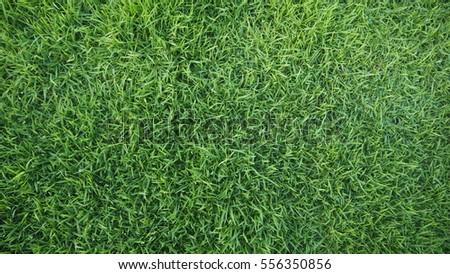 Green grass background texture - Shutterstock ID 556350856