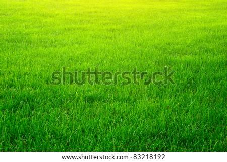 Green grass background texture. Element of design.