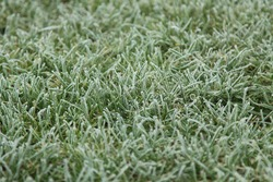green grass, covered with hoar. natural texture
