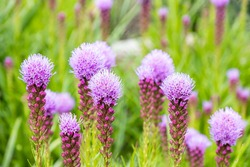green grass field in the park filled with beautiful pink blazing star flowers