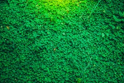 Green grass fresh clover background,texture close up leaf with Orange light,Look like a wall or a natural fence,Believe that there will be good lucky 4