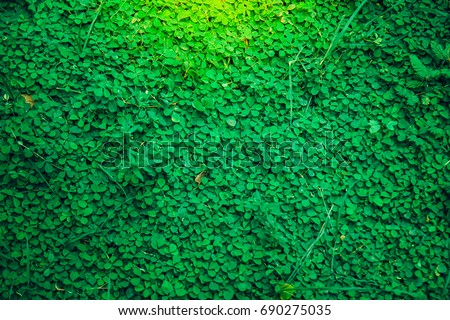 Green grass fresh clover background,texture close up leaf with Orange light,Look like a wall or a natural fence,Believe that there will be good lucky 4 #690275035