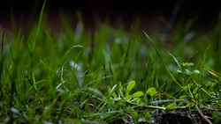 Green grass from a close up view with out of focus background and dirt.