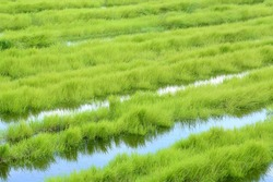 Green grass growing on a marsh land