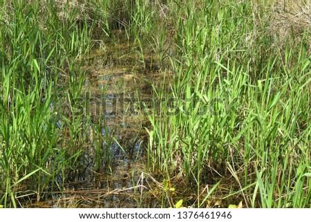 Green grass in marshlands / swamp, visible glistening water
