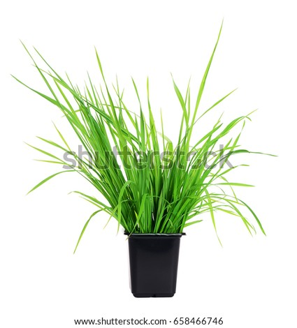 Green grass in pot isolated on white #658466746