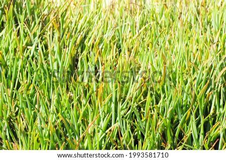 green grass in  the garden  field