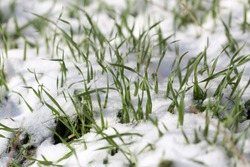 Green grass in the snow on the nature