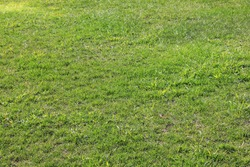 Green grass lawn in bad condition. Grass texture background in need of maintenance, damaged patchy green lawn on sunny day
